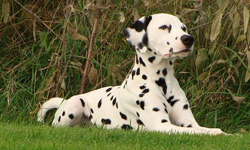 Las Vegas Mobile Dog Grooming - Dalmation