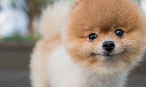 Las Vegas Pomeranian Groomer
