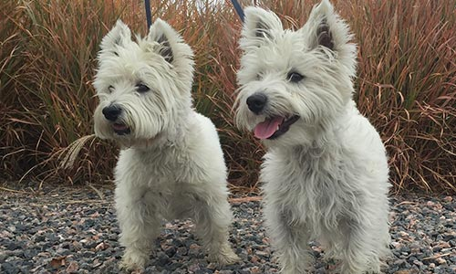 Mobile Dog Grooming In Las Vegas Westies