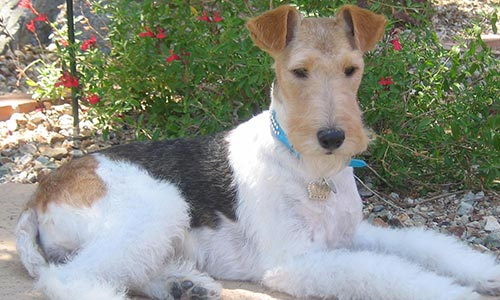 Grooming Fox Terrier Las Vegas