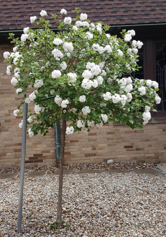 Viburnum Tree
