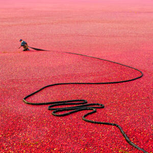 Cranberry Harvest 106 • Bobbi Lane