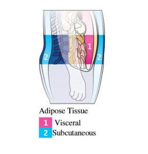 Visceral Fat, DEXA Body Composition Scan