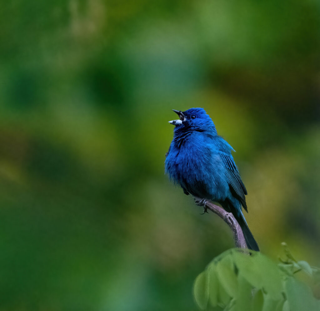 An Indigo Bunting against a green backgroung