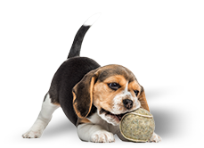 Picture of a beagle puppy playing