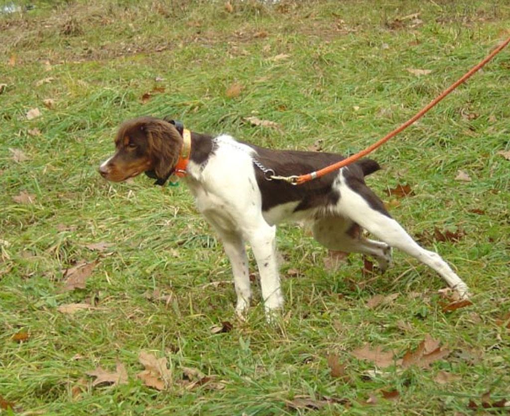 East Coast Field Dog