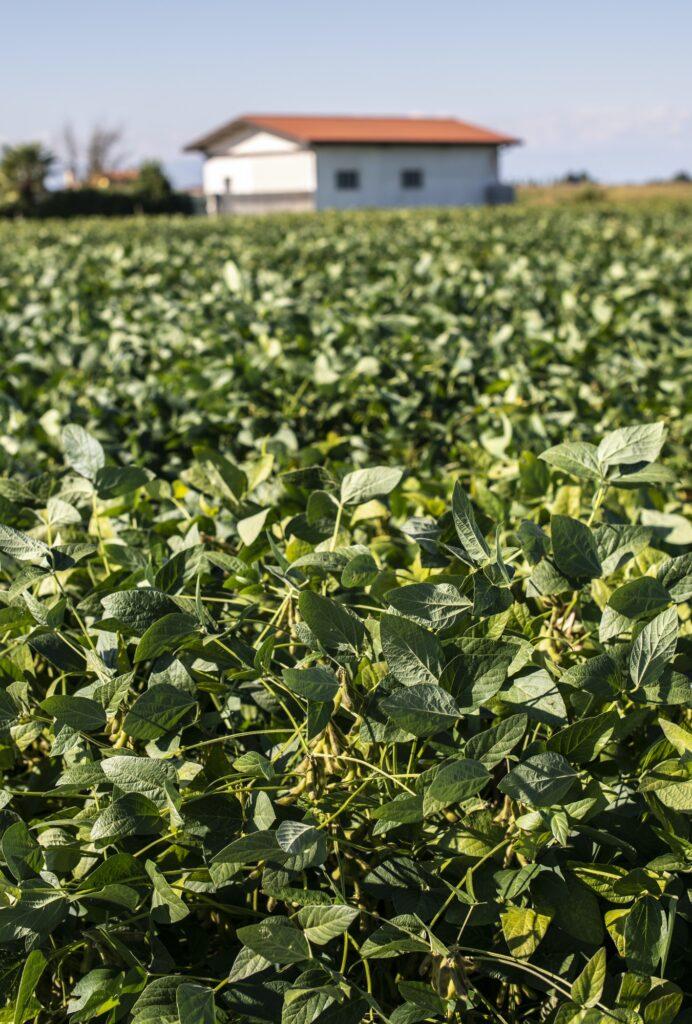 Soya plantation. Soyabean in farm.