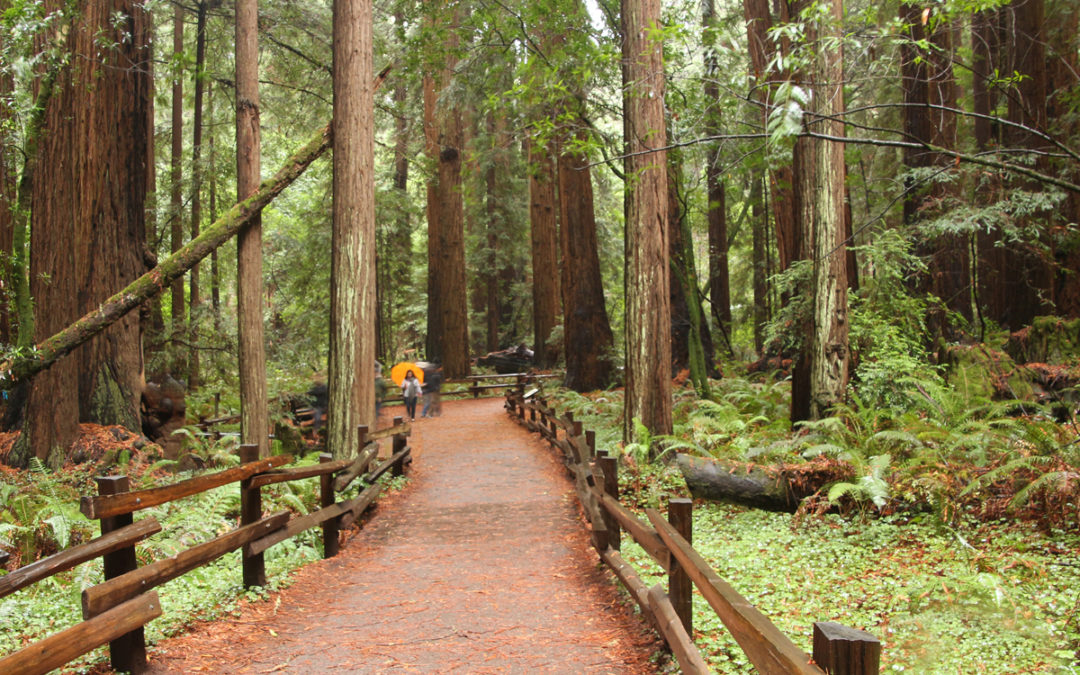 Visit Coastal Sequoia Redwood Forest Giants Near San Francisco