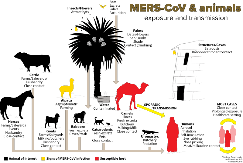 MERS-CoV exposure and transmission.