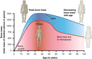 The rate of bone loss increases rapidly after menopause in women.