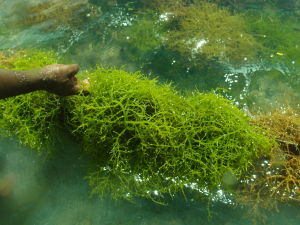 Carrageenan are polysacharrides created from edible seaweeds, used in food for gelling, thickening, and stabilizing.