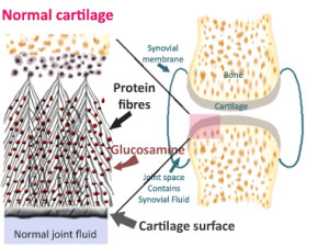 lo res cartilage structure copy