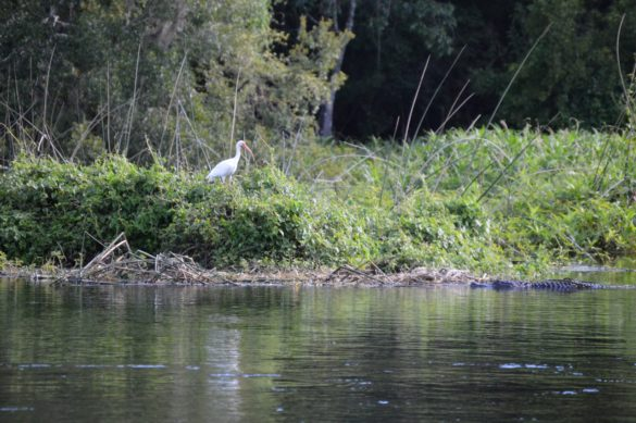 Gator approaches ibis