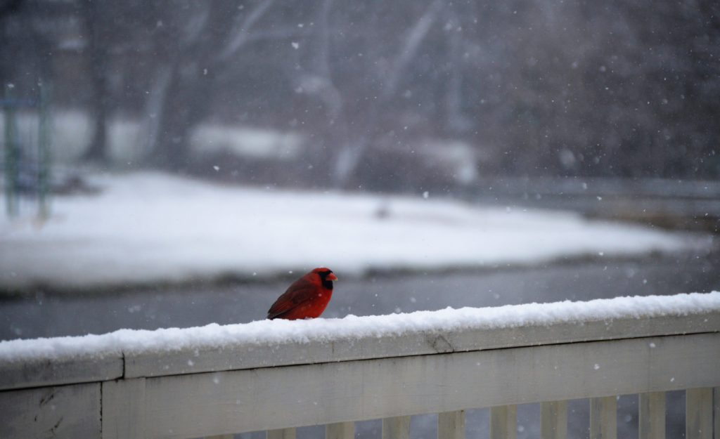 Beautiful cardinal during mid-April snow.