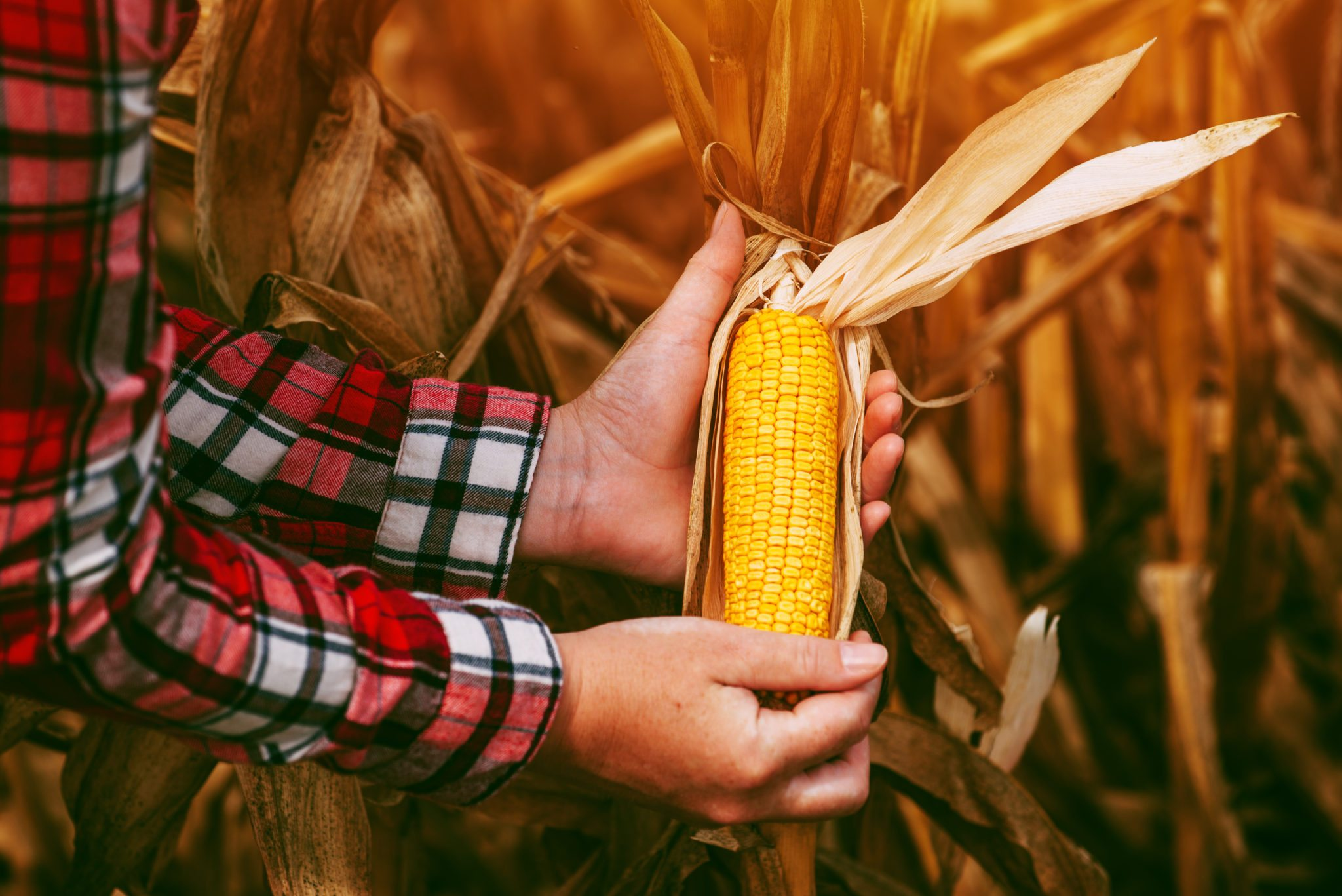 Farmer with harvest ready ripe corn maize cob in field, adult female agronomist working on cultivated agricultural plantation
