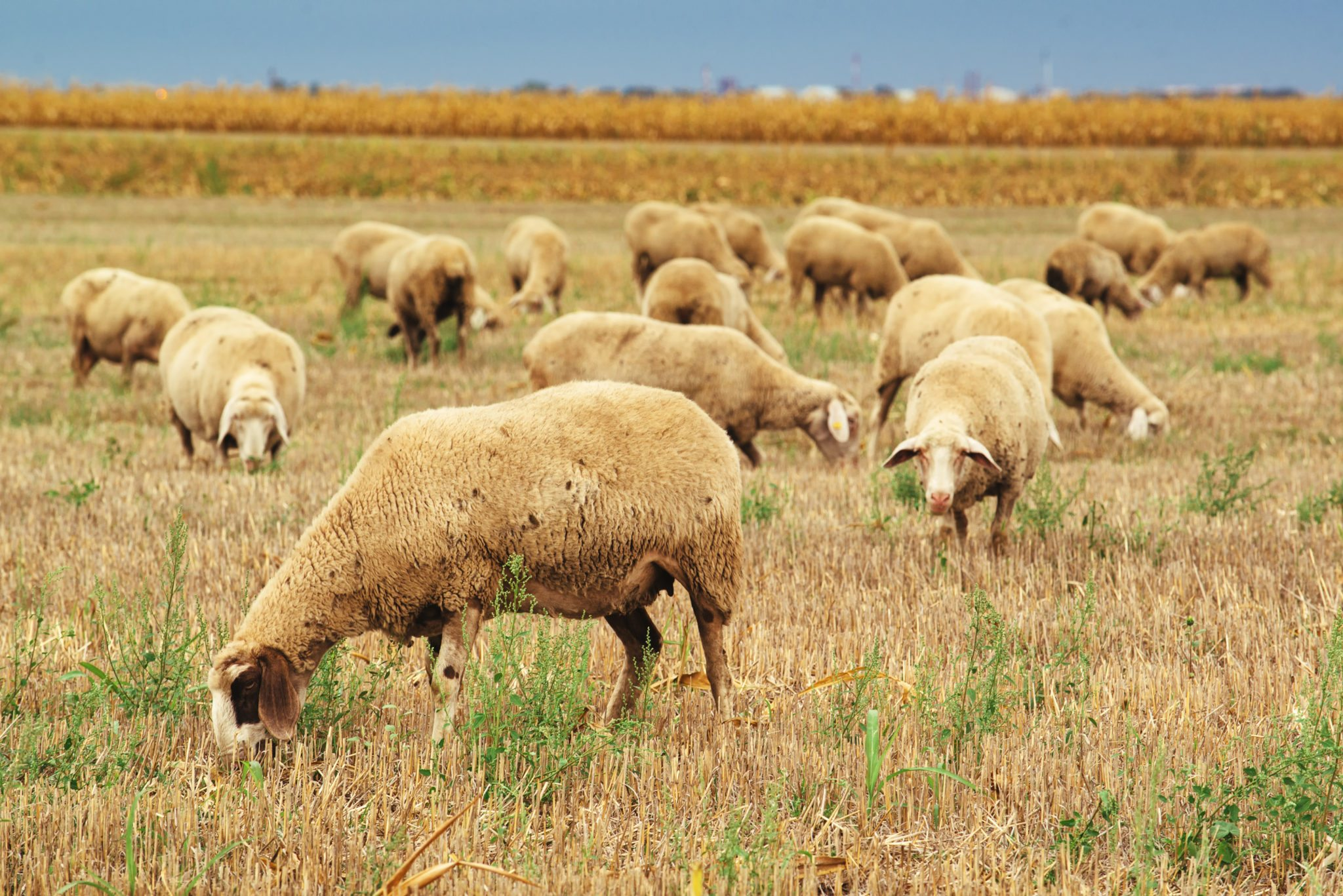 Sheep herd grazing on wheat stubble field, large group of dairy farm animals in meadow