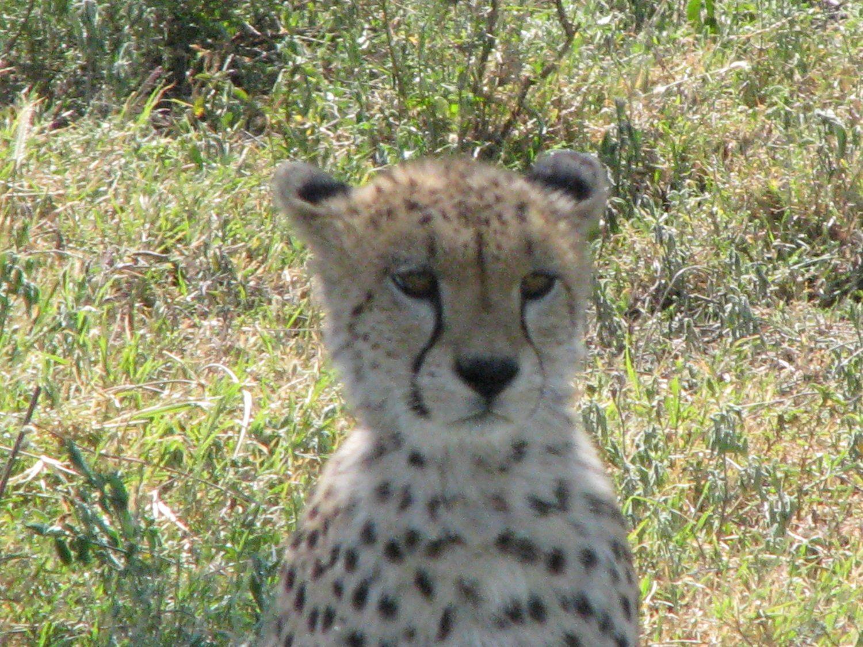 Kenya cheetah cub sitting in grassland