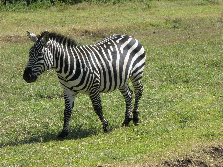 Kenya zebra walking in grassland
