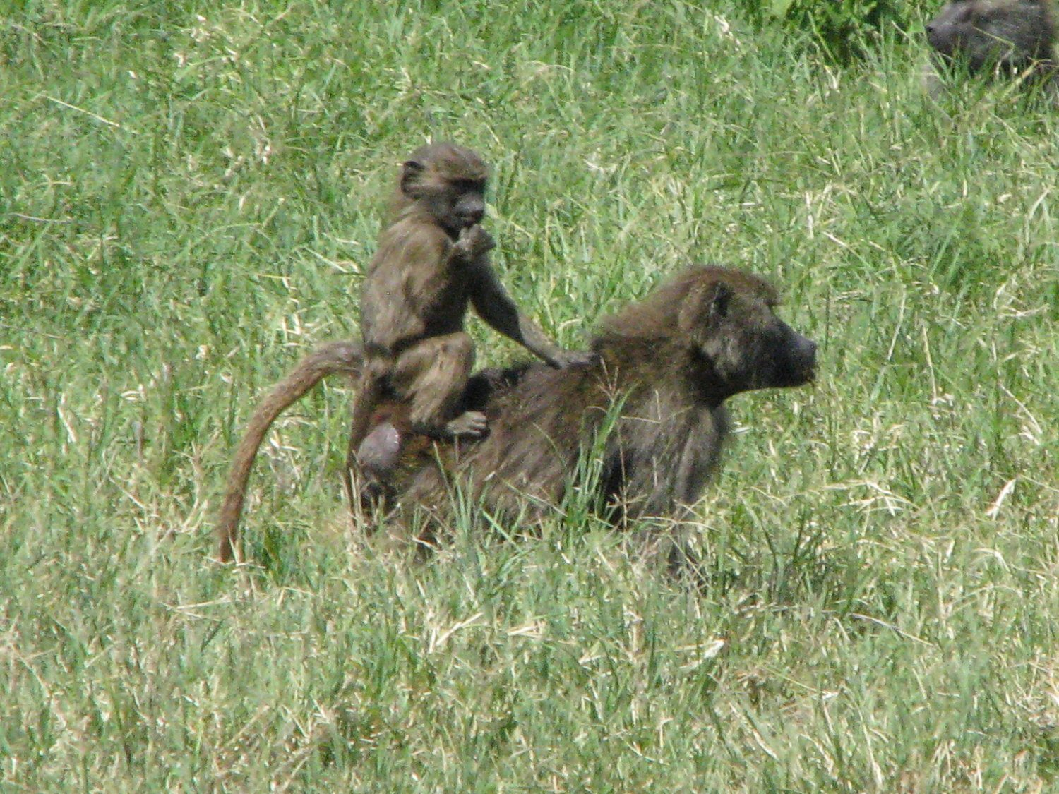 mother and baby baboon walking in grasslands of Kenya