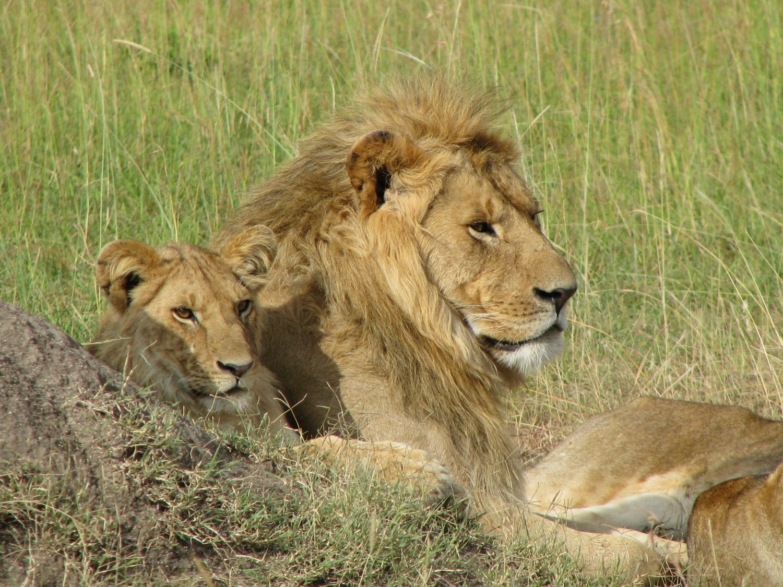 Kenya wild lions laying in grasslands