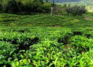 KK Leisure Tour And Rent A Car Sabah Tea