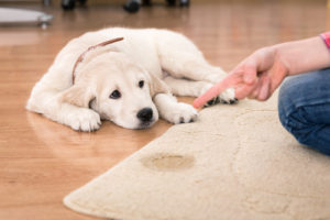 pet stain removal Omaha | Big Red's Guaranteed Clean