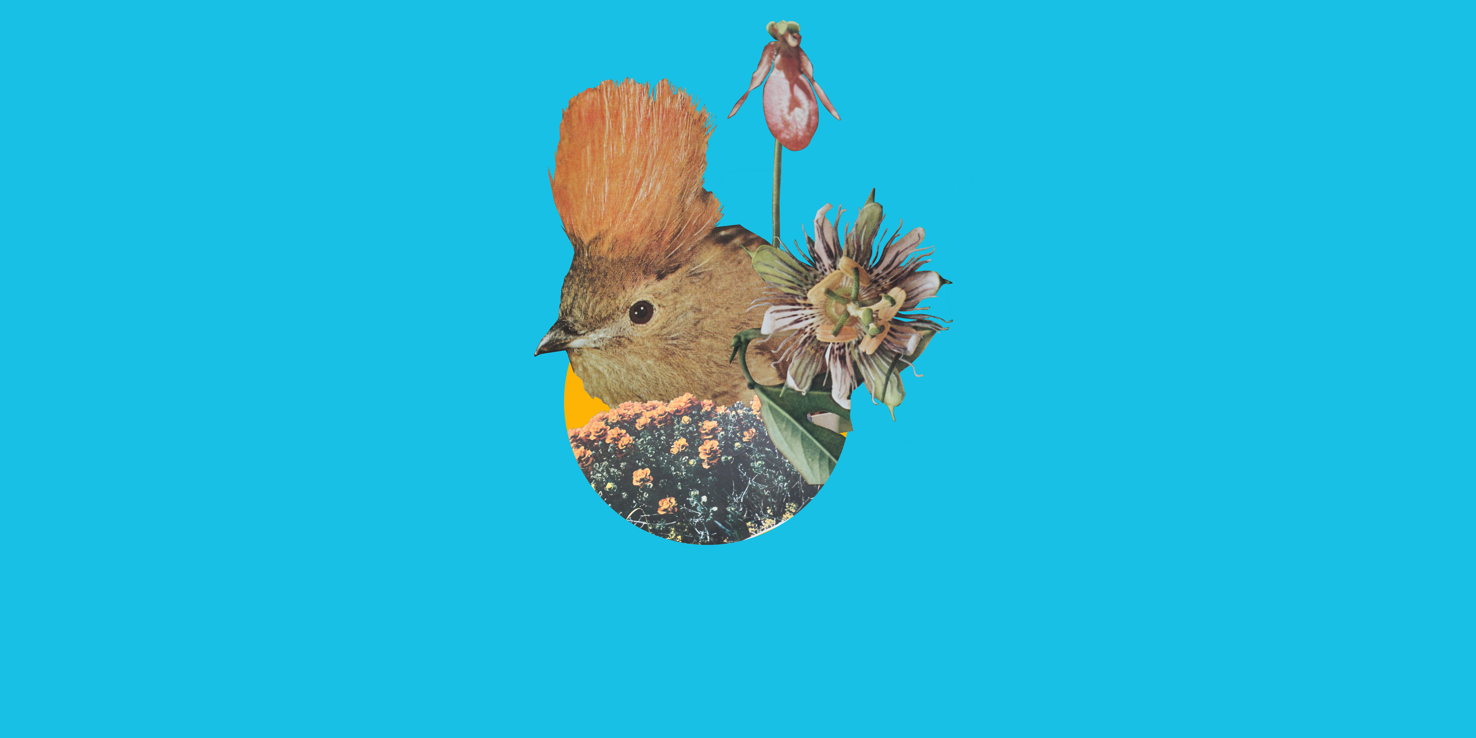 Collage of vintage National Geographic images. Pictured: Bowerbird, passion flower, iris, on blue background.