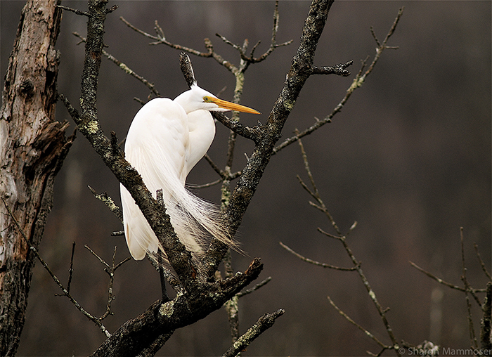 mammoser-great-swamp-heron