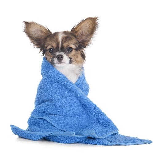 blue-dog-in-towel