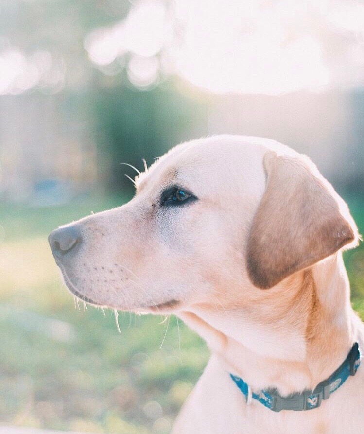 Our Yellow Lab Brody