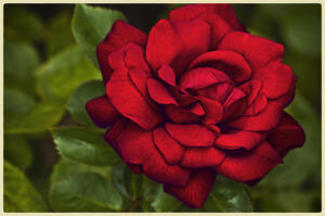 Red, Red Rose • © Barbara Leven
