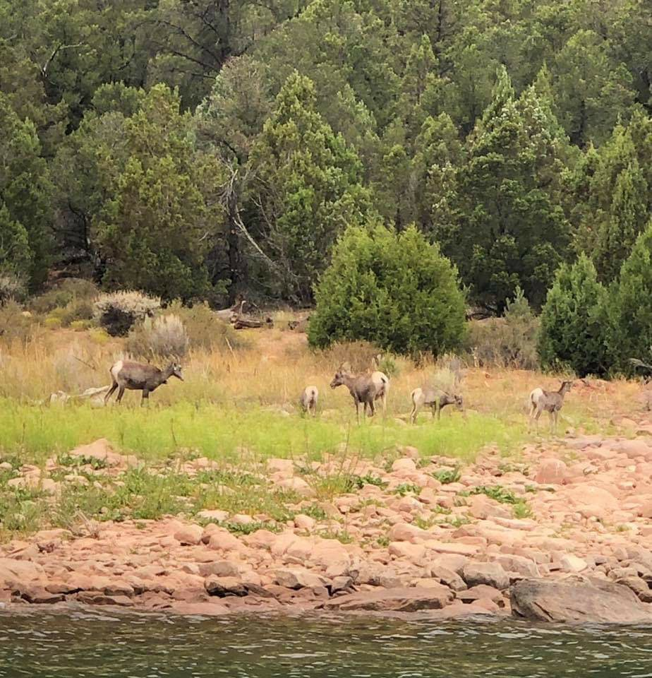 Bighorn Sheep at Flaming Gorge