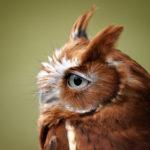 Injured Screech Owl