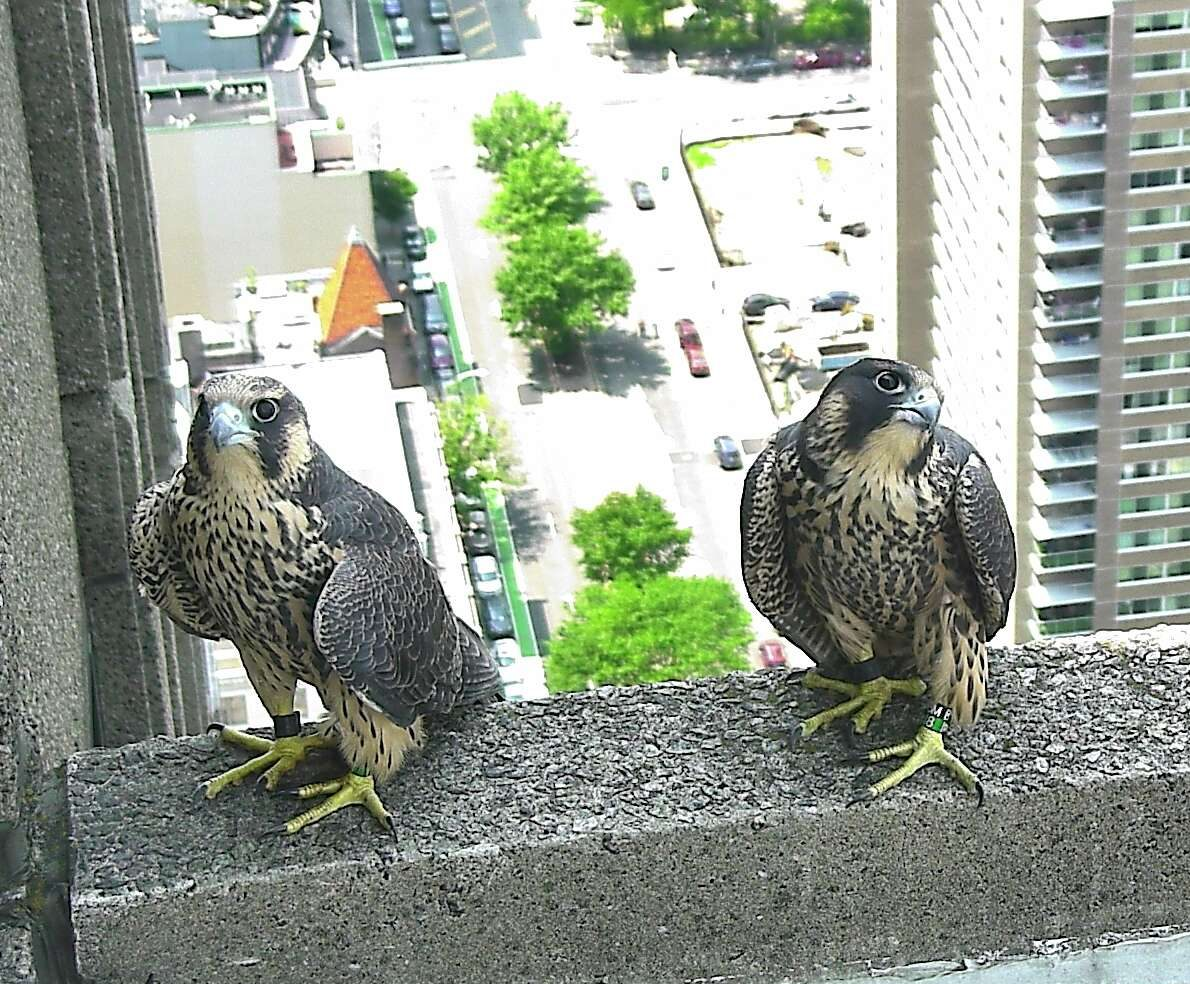 Peregrine falcons in Jersey City