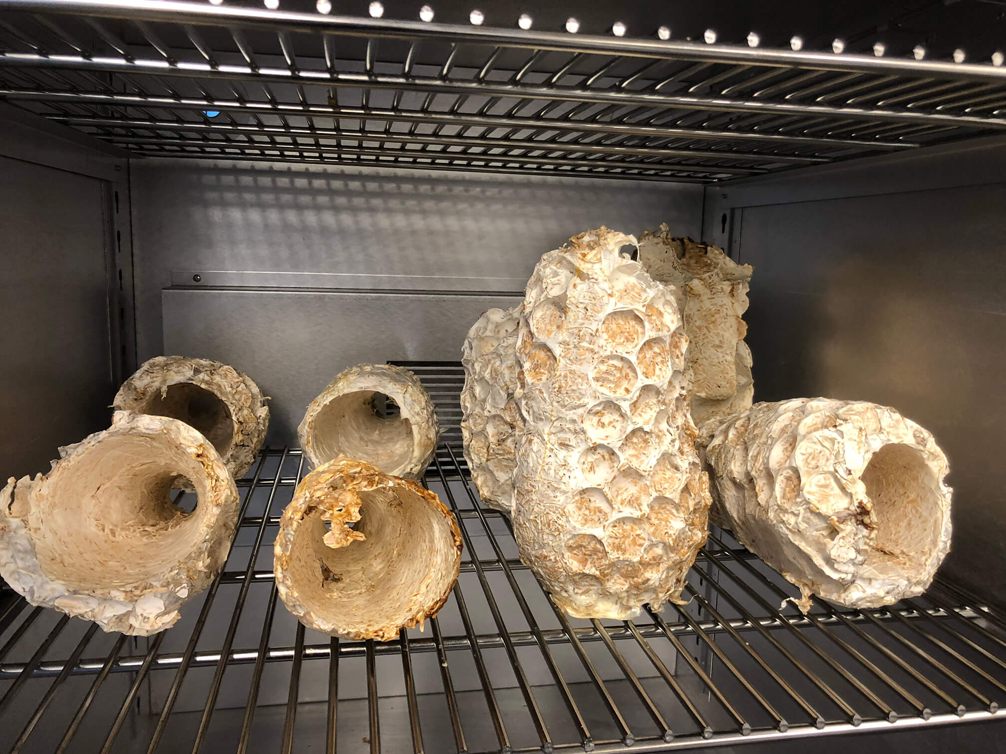 Mycelium lampshades in the curing oven