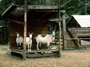 goats-235592_1280