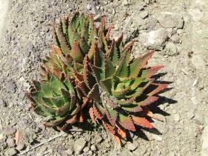 cactus-526005_1280