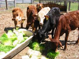cattlefodder