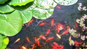 gold-fish-674110_1280