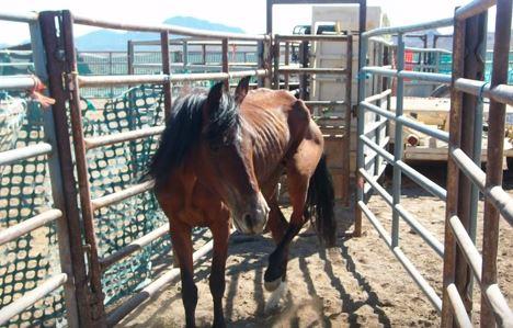 Wild horses run at the East Cañon Correctional Facility's Wild Horse and Burro Facility near Cañon City in 2015.