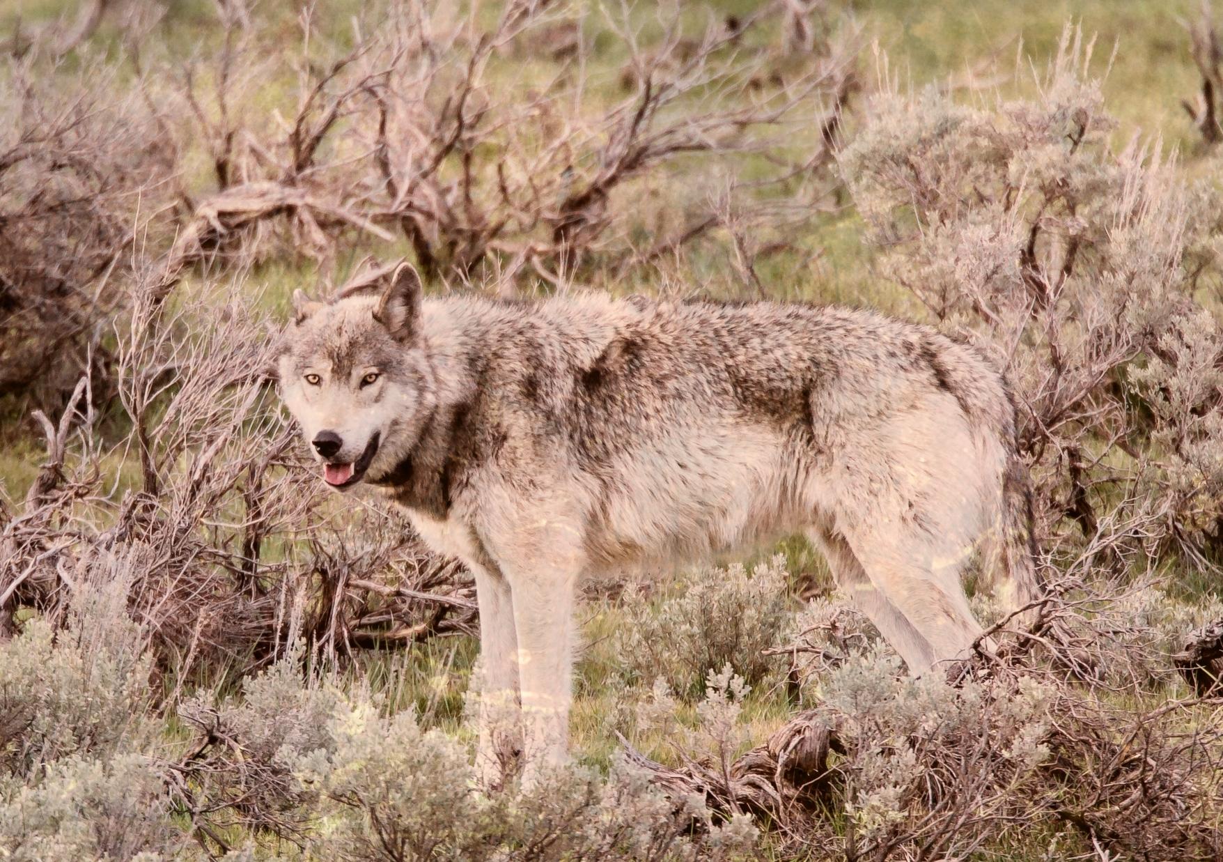 wolfcowinjury