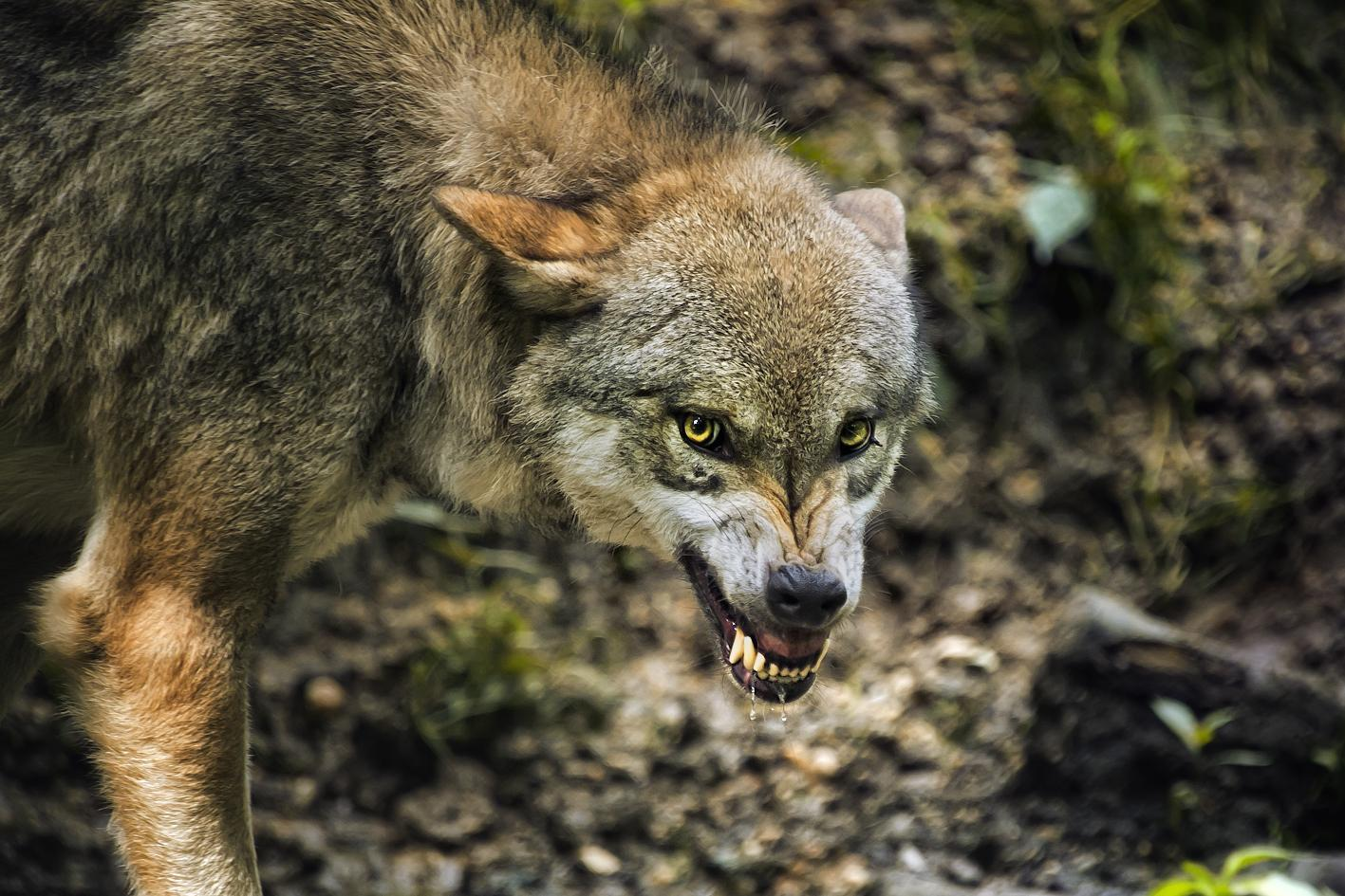 Wolf prints_Fort Klamath