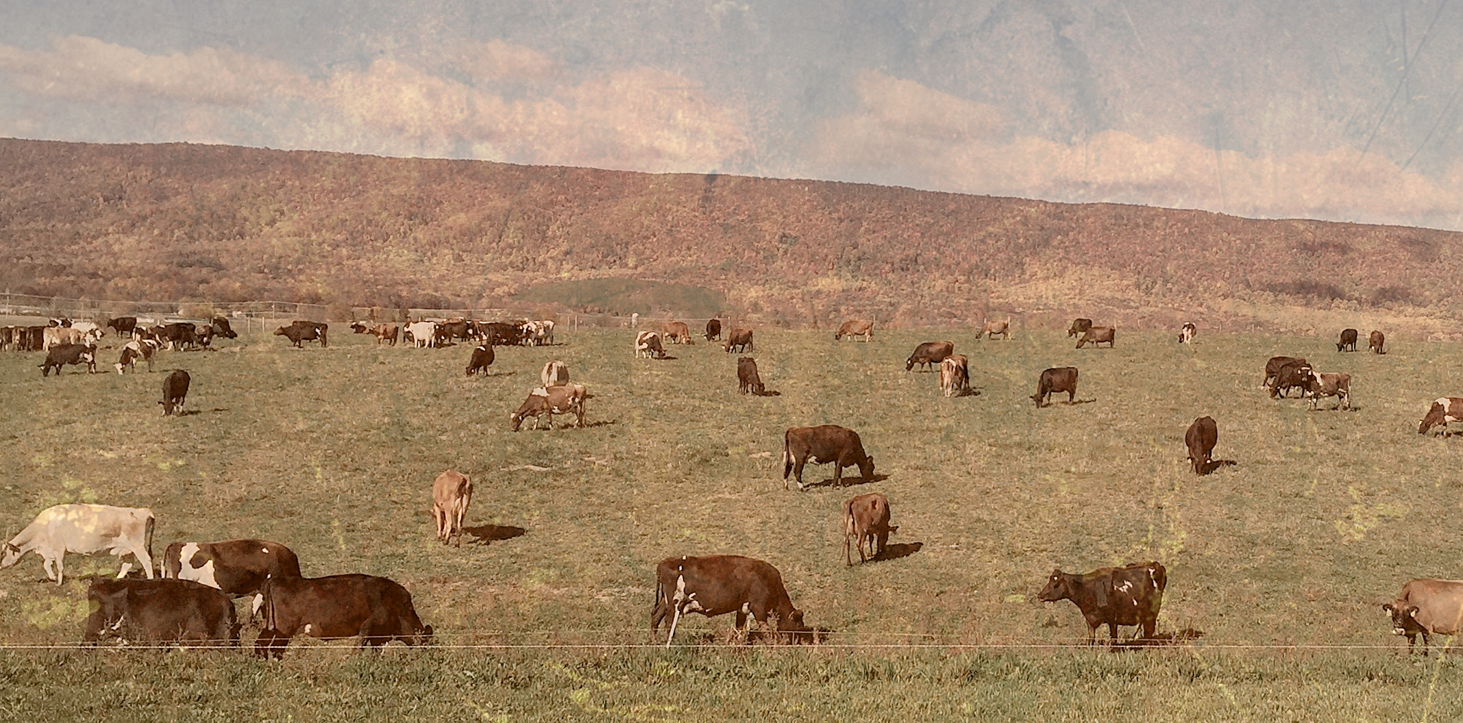 Image result for angus mcintosh grazing