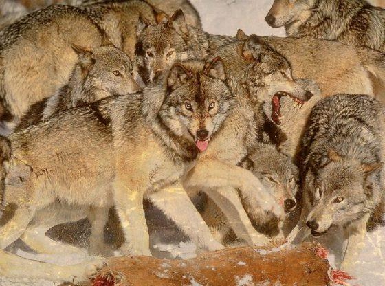 Wolves attack deer