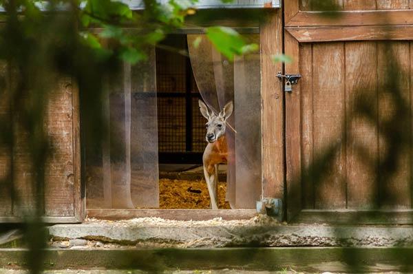 Kangaroo peeking