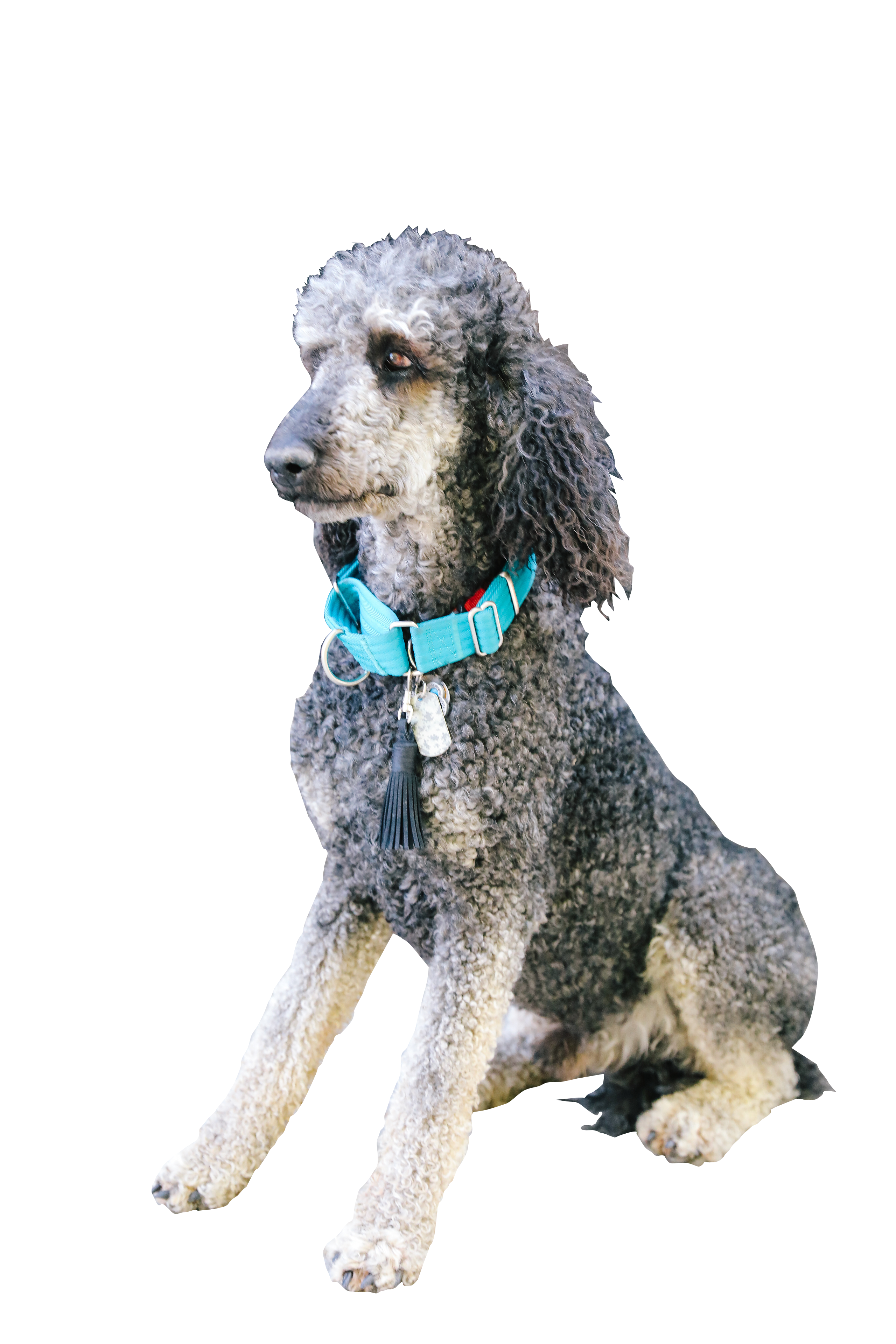 goldendoodles dog breed for your family