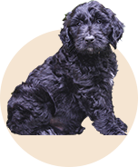 black goldendoodles for your family
