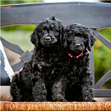 a pair of black mini goldendoodles puppies for sale