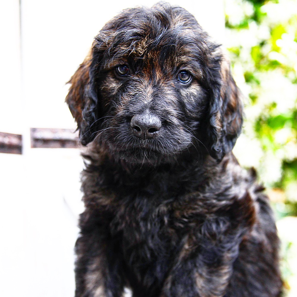buy a trained mini black goldendoodles puppies