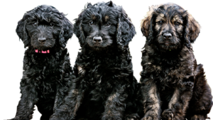 buy mini goldendoodles breed for your family